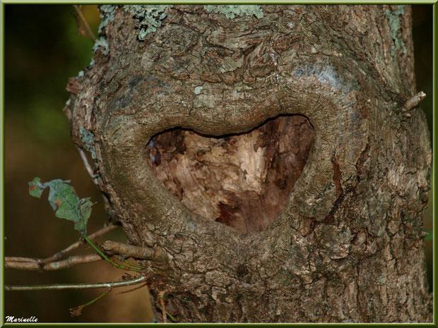 Chêne Pédonculé au tronc avec cicatrice en forme de coeur, flore Bassin d'Arcachon (33)