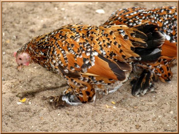 Poules, Parc de la Coccinelle, mini-ferme à Gujan-Mestras, Bassin d'Arcachon (33)
