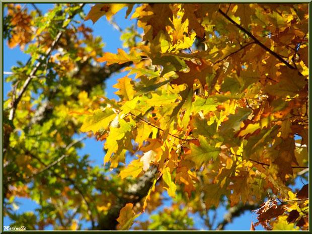 Chêne automnal, forêt sur le Bassin d'Arcachon (33)