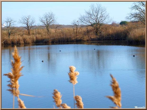 Chênes et roseaux en bordure d'un réservoir et quelques foulques au fil de l'eau, Sentier du Littoral, secteur Port du Teich en longeant La Leyre, Le Teich, Bassin d'Arcachon (33)