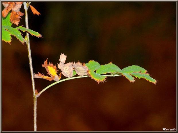 Branche d'acacia automnal, forêt sur le Bassin d'Arcachon (33)