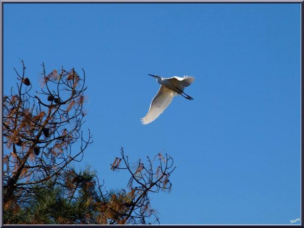 Aigrette en vol au-dessus du Sentier du Littoral, secteur Moulin de Cantarrane, Bassin d'Arcachon