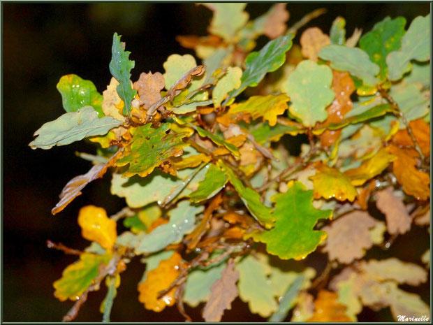 Branche de chêne automnal après ondée, forêt sur le Bassin d'Arcachon (33)