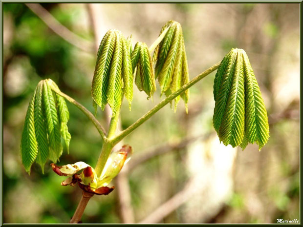 C'est le printemps, les premières feuilles du Marronnier d'Inde ou Marronnier Commun naissent, flore Bassin d'Arcachon (33)