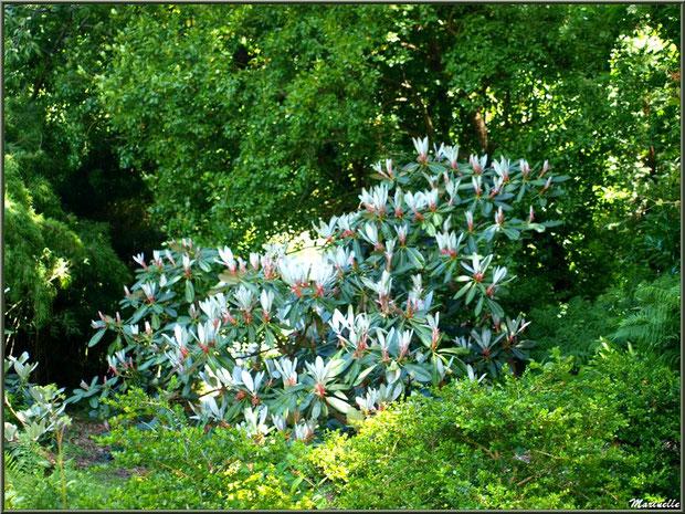 Le Canal : une des variétés de magnolias et autre végétation luxuriante - Les Jardins du Kerdalo à Trédarzec, Côtes d'Armor (22)
