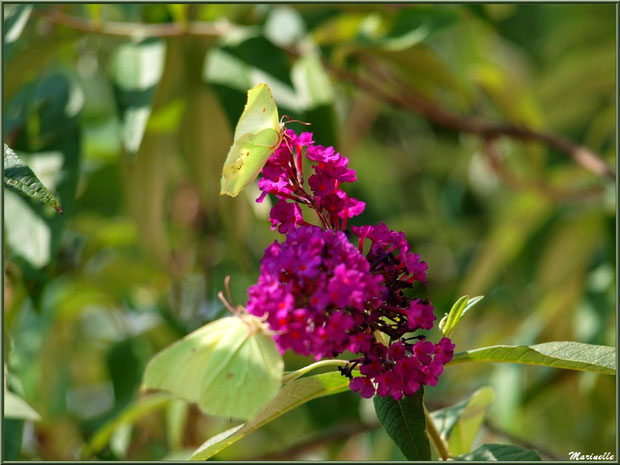 Papillons Citrons en duo sur une fleur d'Arbre à Papillons