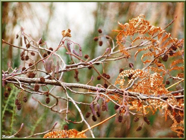 Aulne hivernal avec ses petites pignes et et ses grappes parmi la fougère au Parc de la Chêneraie à Gujan-Mestras (Bassin d'Arcachon)