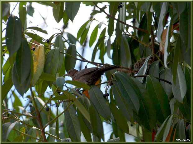 Merlette dans un arbre à côte de nid, Zoo du Bassin d'Arcachon, La Teste de Buch (33)