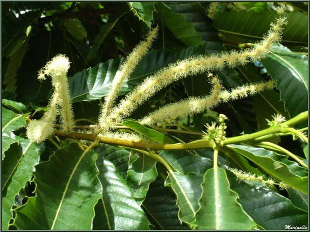 Châtaignier en fleurs avec fleurs mâles (châtons) et fleurs femelles (futures bogues), flore Bassin d'Arcachon (33)
