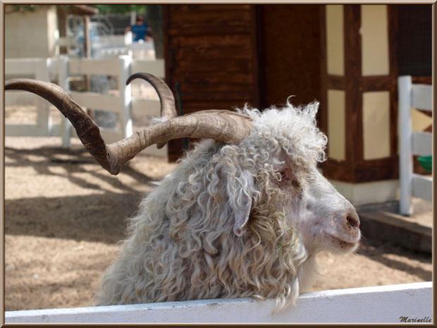 Chèvre Angora, Parc de la Coccinelle, mini-ferme à Gujan-Mestras, Bassin d'Arcachon (33)