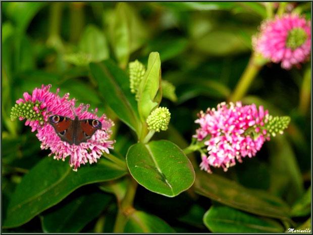 Papillon Paon du Jour sur fleur de Véronique