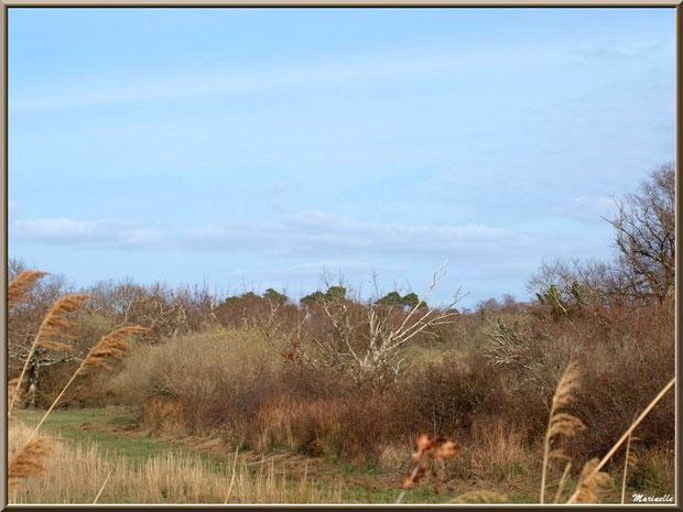 Végétation pré-printanière dans les prés salés, Sentier du Littoral secteur Pont Neuf, Le Teich, Bassin d'Arcachon (33)