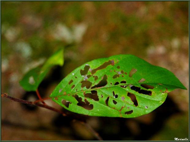 Feuille d'arbrisseau en dentelle, forêt sur le Bassin d'Arcachon (33)