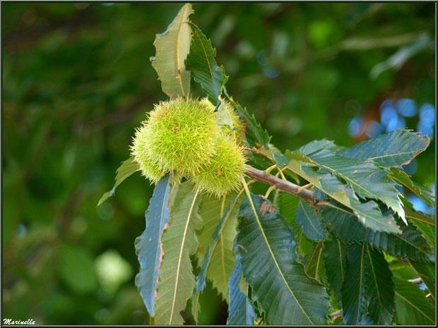 Bogues de Châtaignier entre été et automne, flore Bassin d'Arcachon (33)