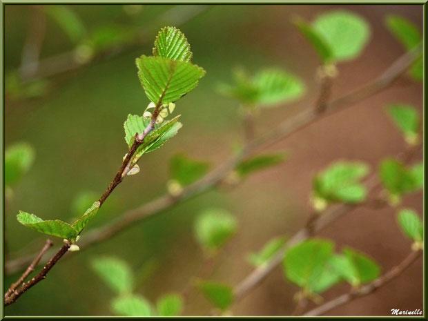 Jeunes feuilles printanières, sur le sentier bordant La Leyre, Sentier du Littoral au lieu-dit Lamothe, Le Teich, Bassin d'Arcachon (33)