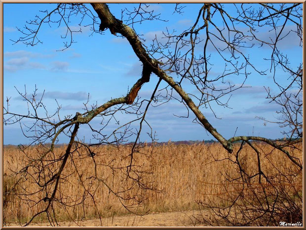 Chêne hivernal et roseaux en bordure du Sentier du Littoral, secteur Port du Teich en longeant La Leyre, Le Teich, Bassin d'Arcachon (33)