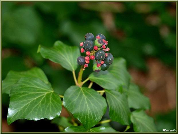 Lierre et ses baies à maturité, flore Bassin d'Arcachon (33)