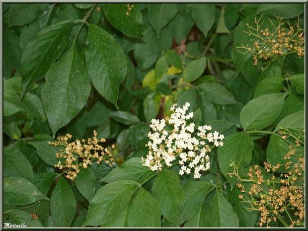 Sureau en fleurs dans le jardin de l'abbaye de Silvacane, Vallée de la Basse Durance (13)