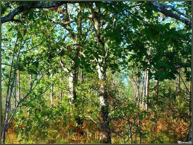 Méli mélo forestier : végétation diverses aux couleurs début automne, forêt sur le Bassin d'Arcachon (33)