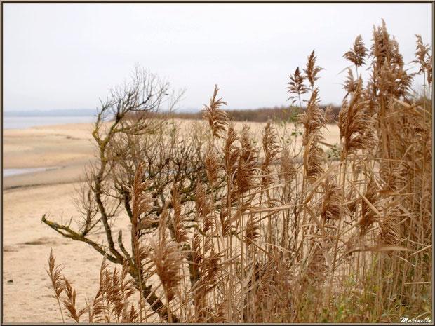 Roseaux et tamaris en hiver en bordure de plage, côté Bassin sur le Sentier du Littoral, secteur Moulin de Cantarrane, Bassin d'Arcachon