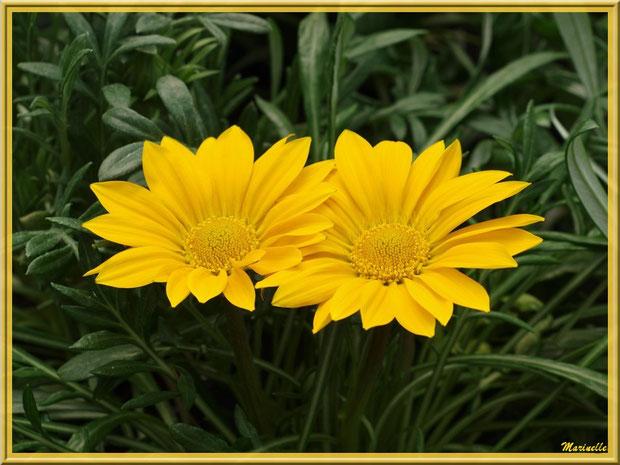 Gerberas jaunes au jardin