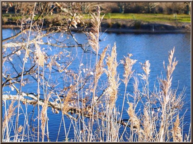 Roseaux et chêne en bordure d'un réservoir, Sentier du Littoral, secteur Port du Teich en longeant La Leyre, Le Teich, Bassin d'Arcachon (33)