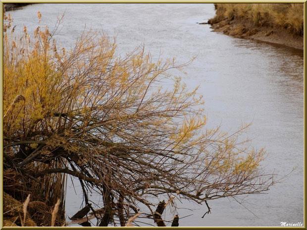 Tamaris et roseaux en bordure de La Leyre, Sentier du Littoral, secteur Port du Teich en longeant La Leyre, Le Teich, Bassin d'Arcachon (33)