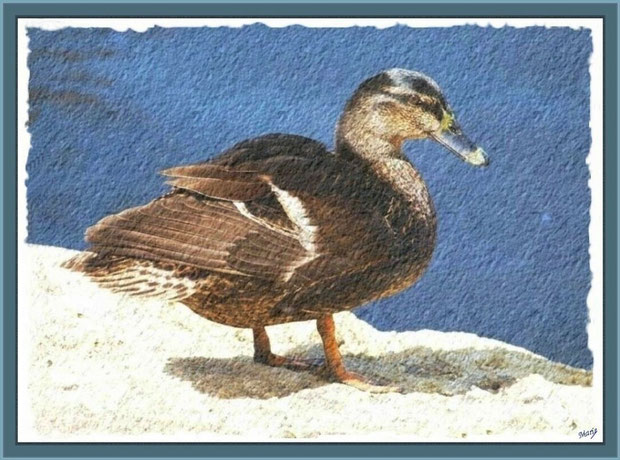 Canard Colvert au bord du bassin au Parc de la Chêneraie à Gujan-Mestras (Bassin d'Arcachon)