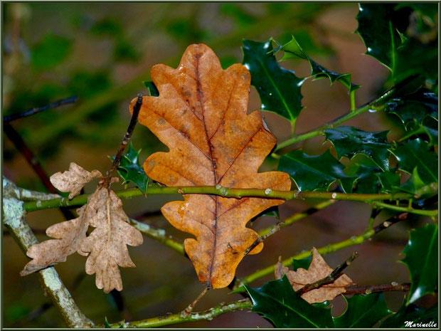 Feuilles de chêne automnal épinglées dans une branche de houx, forêt sur le Bassin d'Arcachon (33)