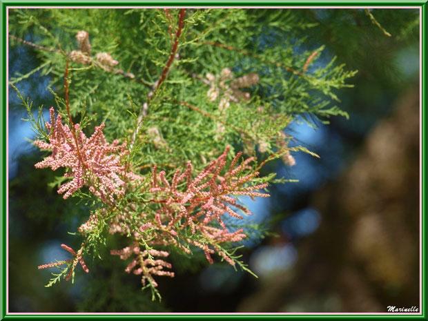 Tamaris ou Tamarix Gallica en fleurs, flore Bassin d'Arcachon (33)