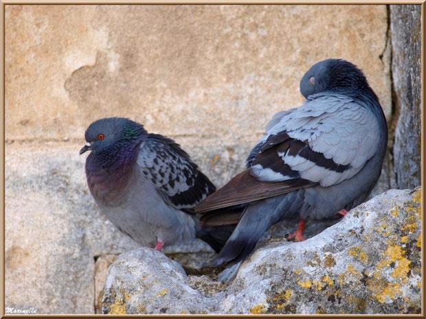 Couple de pigeons au creux d'un mur au détour d'une ruelle, Baux-de-Provence, Alpilles (13)