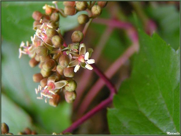 Fleurs de Vigne Vierge Sauvage, flore Bassin d'Arcachon (33)