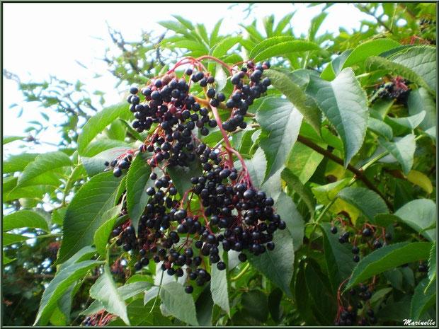 Sureau Noir et ses baies comestibles en grappe tombantes, flore Bassin d'Arcachon (33)