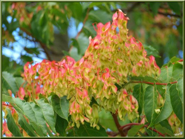 Frêne et ses gousses colorées au Parc de la Chêneraie à Gujan-Mestras (Bassin d'Arcachon)
