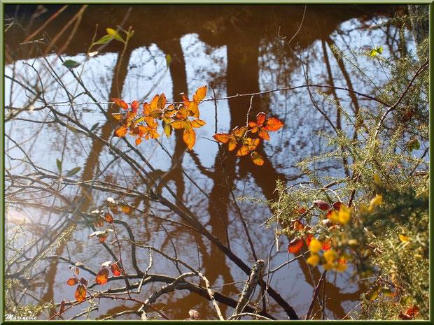 Ajonc et roncier en bordure d'un réservoir, Sentier du Littoral, secteur Port du Teich en longeant La Leyre, Le Teich, Bassin d'Arcachon (33)