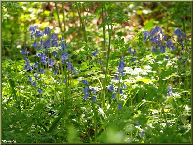 Tapis de Jacinthes des Bois, flore sur le Bassin d'Arcachon (33)