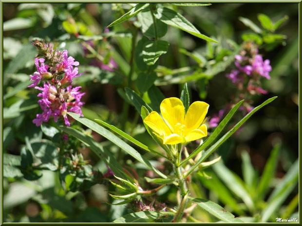 Jussie et Salicaire commune, flore sur le Bassin d'Arcachon (33)