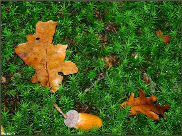 Feuilles de chêne et gland sur tapis moussu automnal, forêt sur le Bassin d'Arcachon (33)