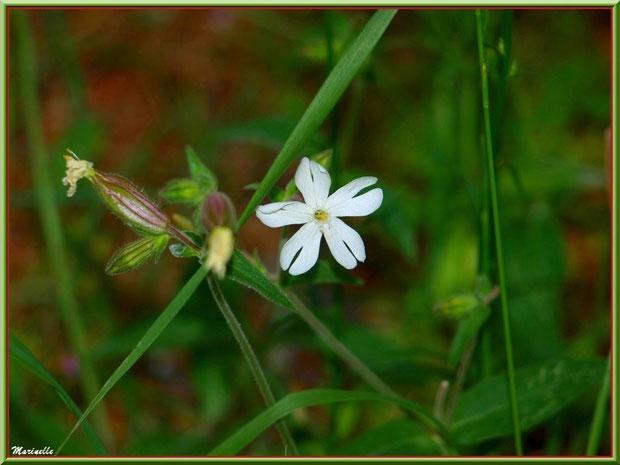 Compagnon Blanc ou Silene Latifolia ou Silene Alba ou Silène à Feuilles Larges, flore Bassin d'Arcachon (33)