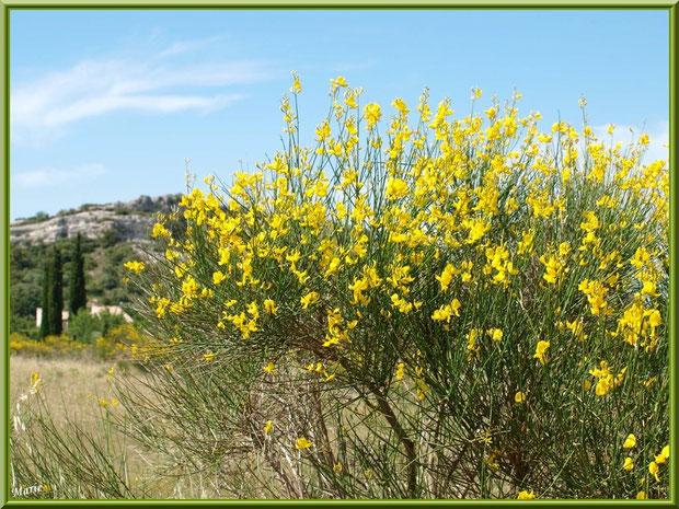 Genêts en fleurs dans la campagne autour du village d'Eygalières dans les Alpilles, Bouches du Rhône