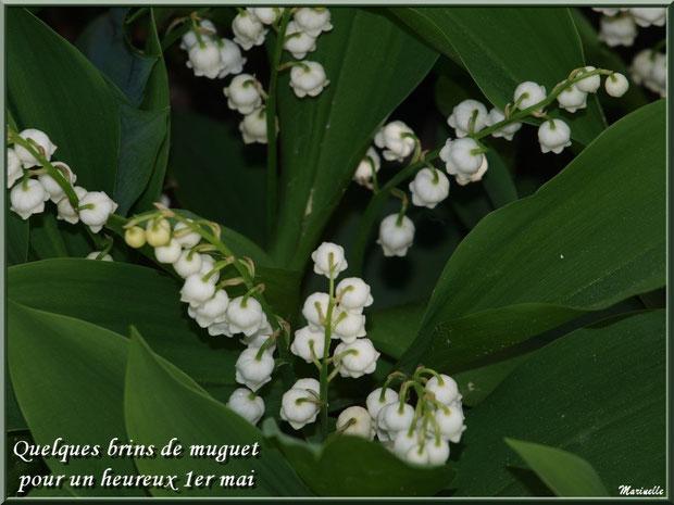 Muguet, heureux 1er mai