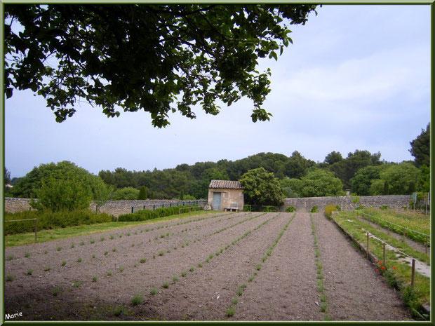 Le jardin aux iris et aux lavandes à l'arrière du monastère de Saint Paul de Mausole à Saint Rémy de Provence (Alpilles - 13)
