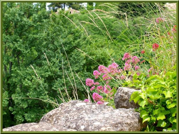 Valérianes et verdure au coeur d'une muraille dans le village d'Oppède-le-Vieux, Lubéron (84)