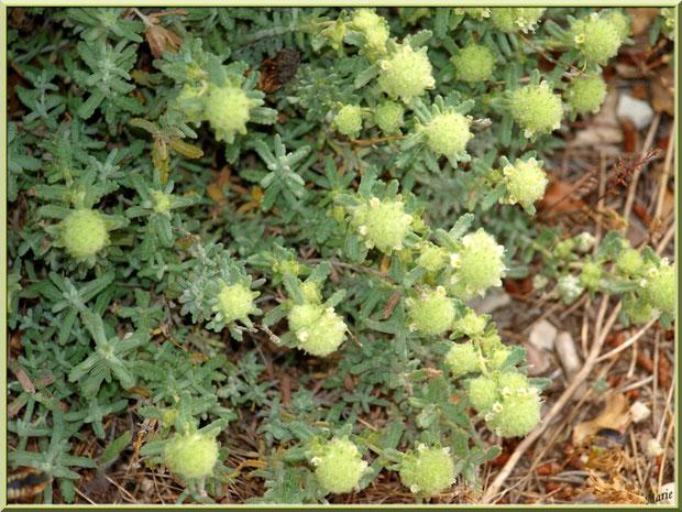 Sedum de la garrigue en fleurs dans les Alpilles (Bouche du Rhône)