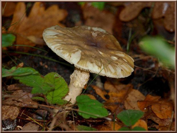 Amanite, en fin de vie, en forêt sur le Bassin d'Arcachon