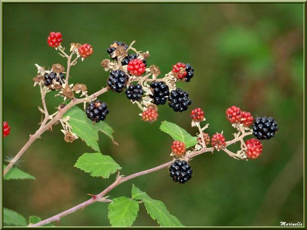 Branches de Mûres, fruits du Roncier, flore Bassin d'Arcachon (33)