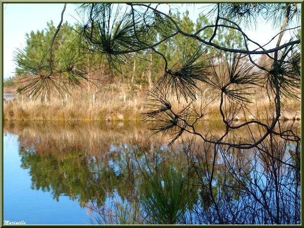 Pins et reflets, Sentier du Littoral entre Gujan-Mestras et Le Teich - Bassin d'Arcachon (33)