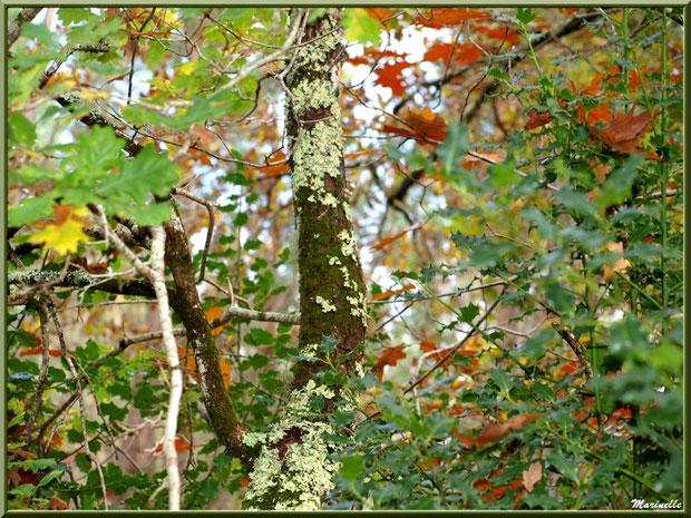 Sous-bois automnal de chênes et houx, forêt sur le Bassin d'Arcachon (33)