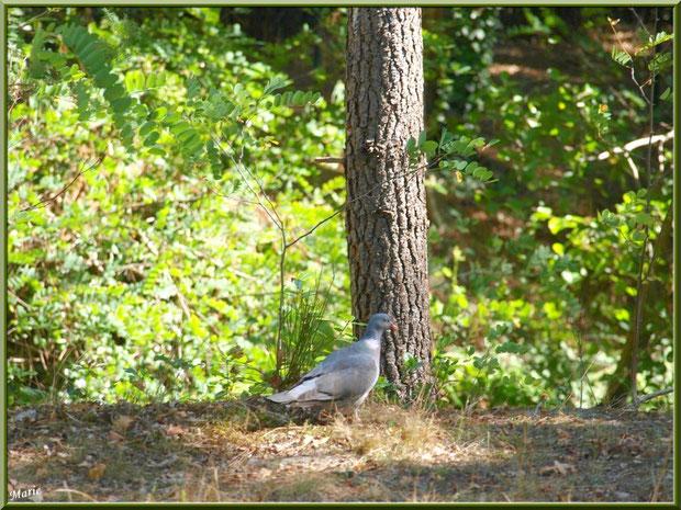 Palombe au pied d'un pin au Parc de la Chêneraie à Gujan-Mestras (Bassin d'Arcachon)