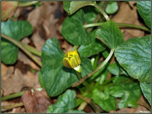 Bouton d'Or ou Renoncule Rampante ou Pied de Poule en bouton, flore sur le Bassin d'Arcachon (33)